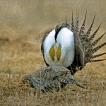 greater_sage_grouse_002 (unknown)